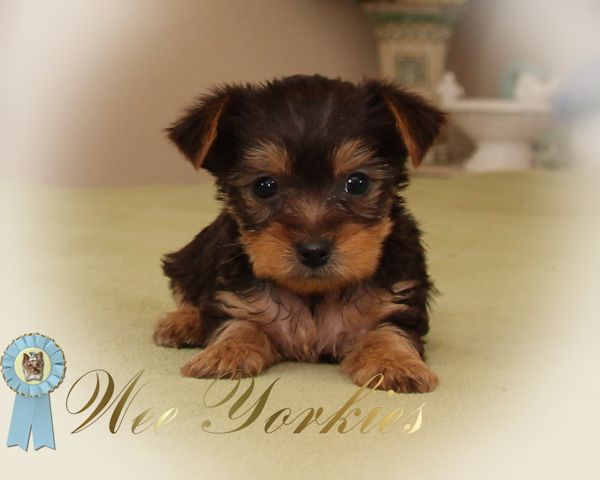 Puppies For Sale Tiny Toy Poodle Chihuahua Fort Worth Tx